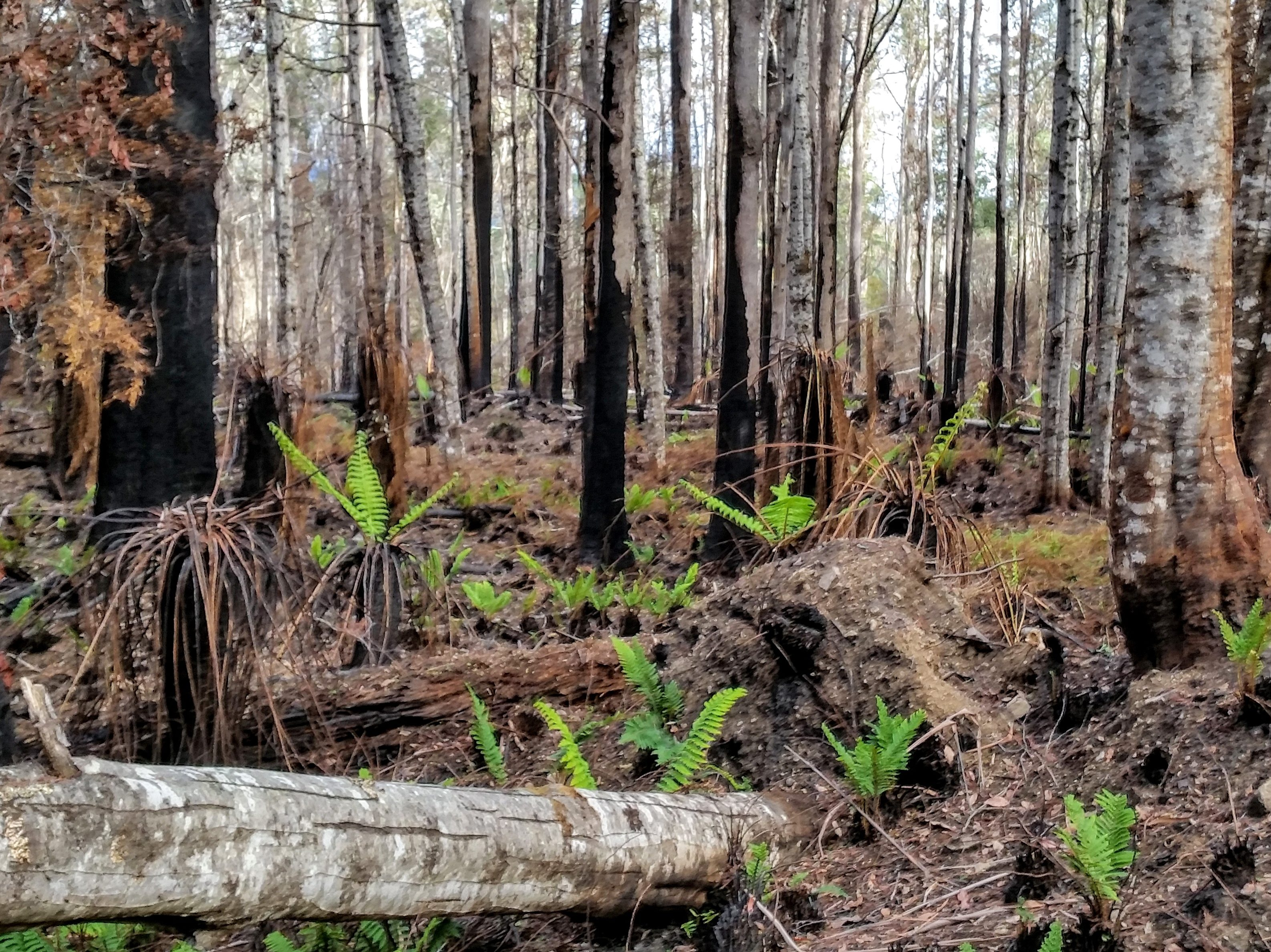 PhD Opportunity: Mapping fire impacts in Tasmanian giant Eucalyptus forests